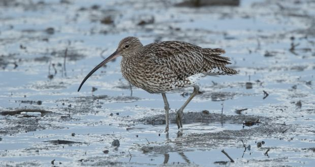 Curlew on Dollymount Strand